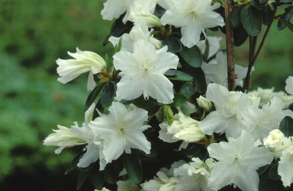 Azalea Japonica Adonis
