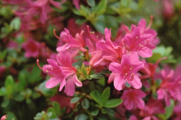 Azalea Japonica Amoena