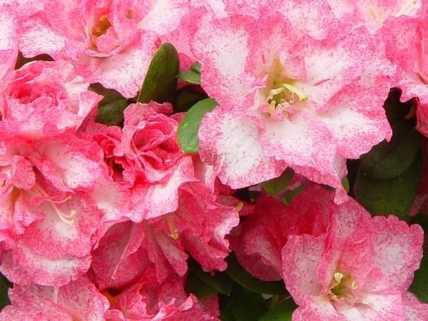 Azalea Indica Aquarell