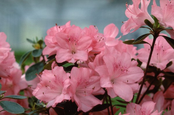Azalea Japonica Blaauw's Pink