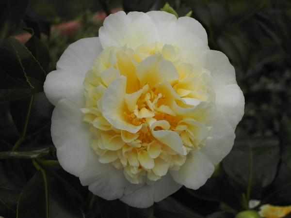 Camelia Bruchfield Yellow