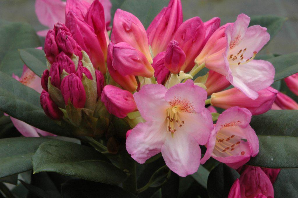 Rhododendron Eucharitis