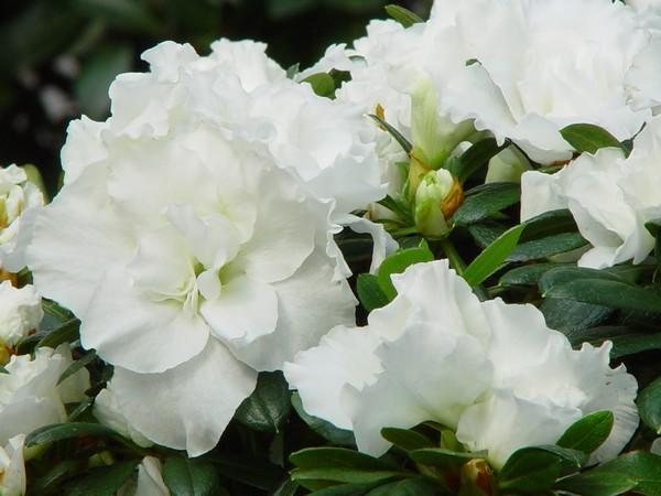 Azalea Indica Knut Alba