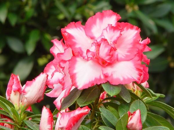 Azalea Indica Panfilia