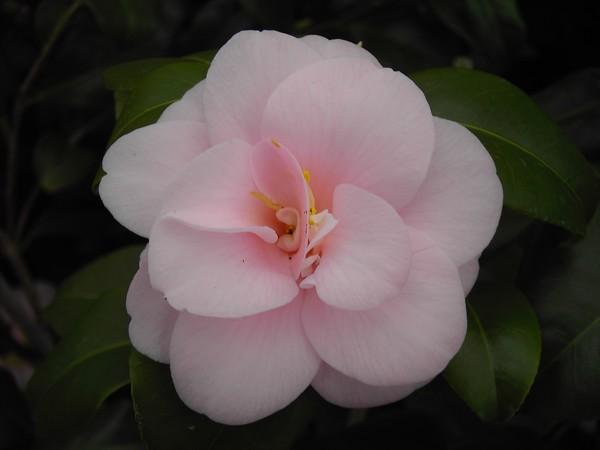 Camelia Peach Blossom