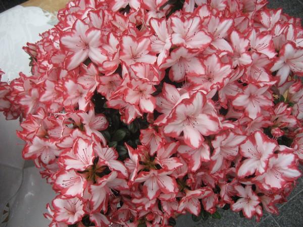 Azalea Indica Sachsenstern Fluor