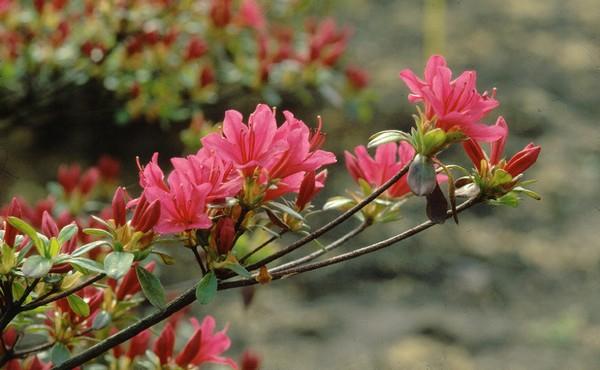 Azalea Japonica Toreador