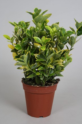 Euonymus 13cm Aurea