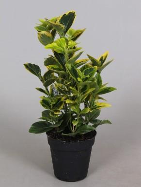 Euonymus P9 Aurea