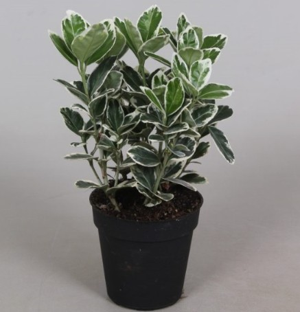 Euonymus P9 Gray Beauty