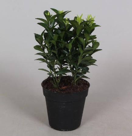 Euonymus P9 Green Spire