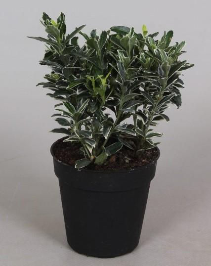 Euonymus P9 Microphyllus Albovariegata