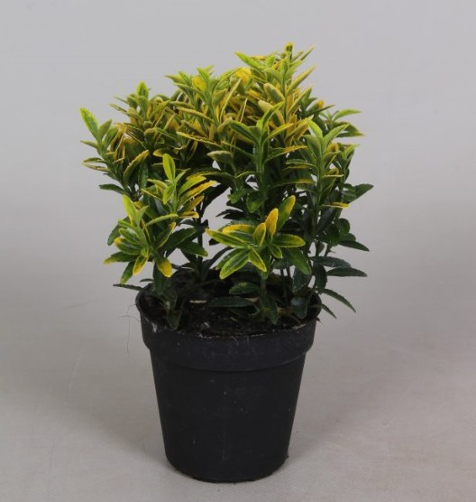 Euonymus P9 Microphyllus Aureavariegata