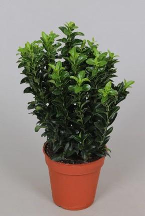 Euonymus p13 Green Spire