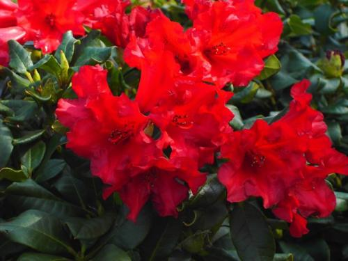 Rhododendron Baden Baden