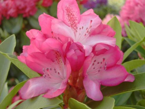 Rhododendron Etoile De Sleidinge