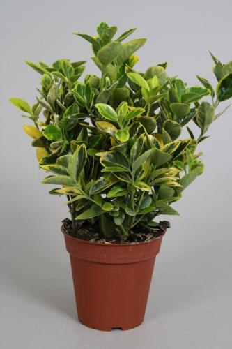 Euonymus p13 Aurea