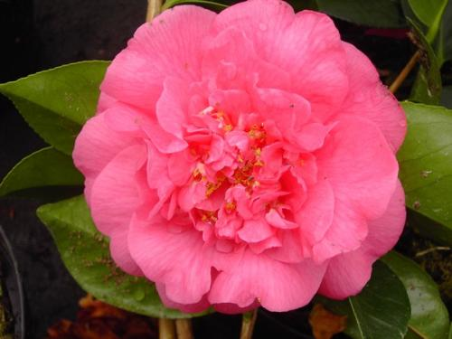 Camelia Guest Of Honor