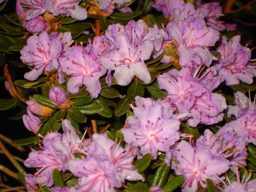 Rhododendron Impetitium Select