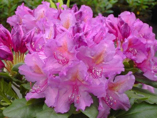 Rhododendron Lee's Dark Purple