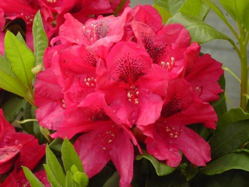 Rhododendron Lored Roberts