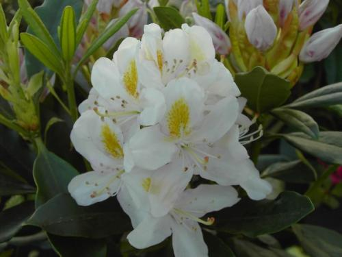 Rhododendron Madame Masson