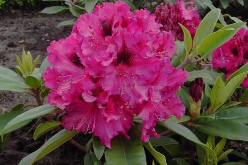 Rhododendron Marie Fortie
