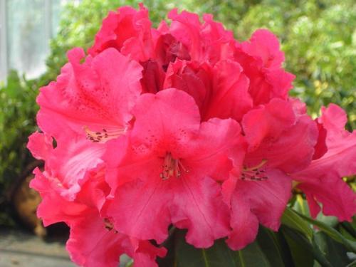 Rhododendron Markeeta's Price