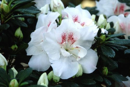 Azalea Indica Stella Maris