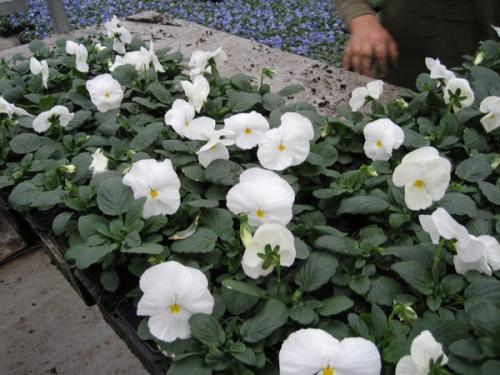 Viola / Primula