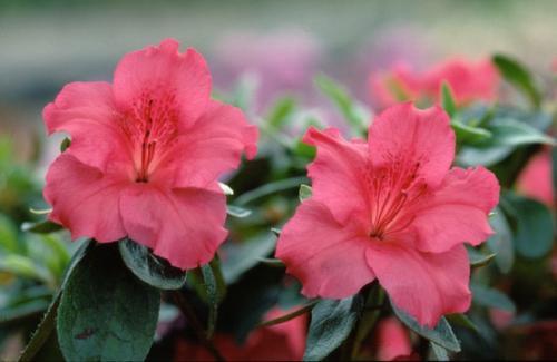 Azalea Japonica Vuyck's Scarlet