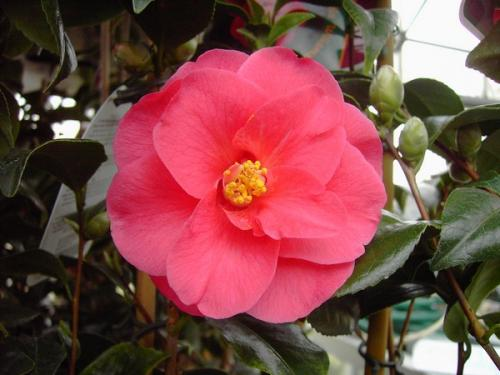 Camelia Williamsii